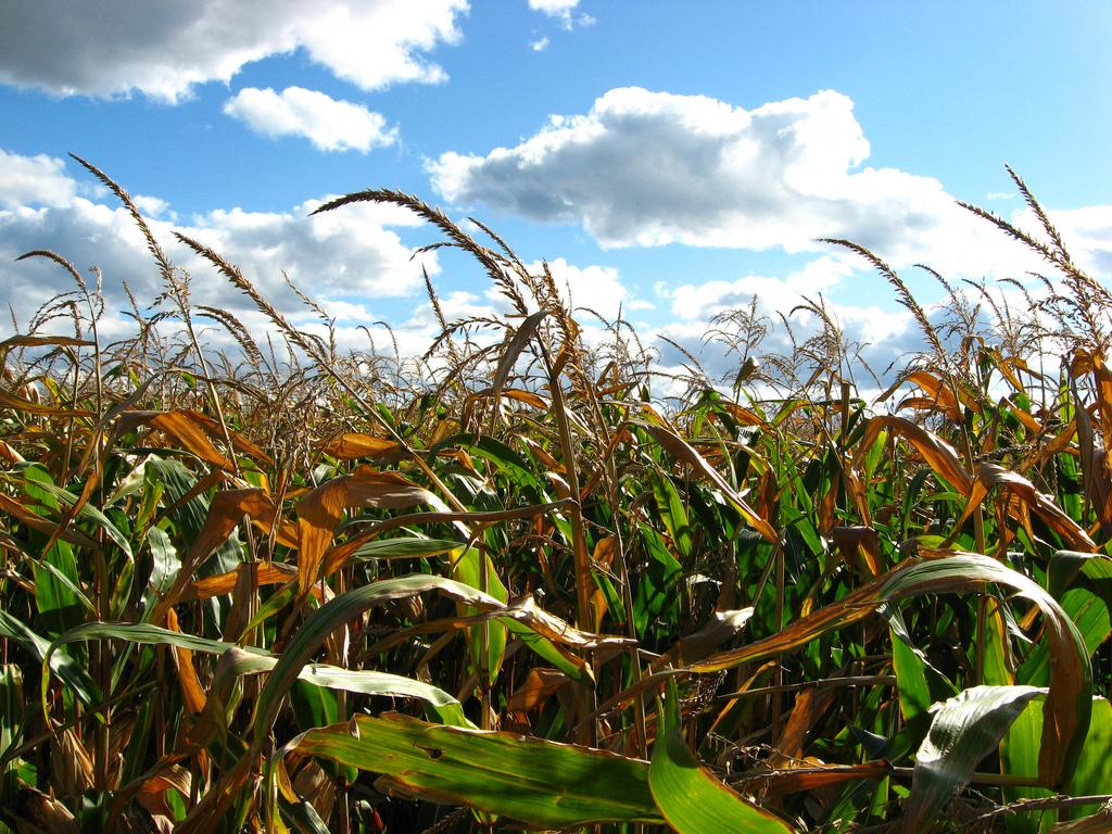 A field of Corn crops