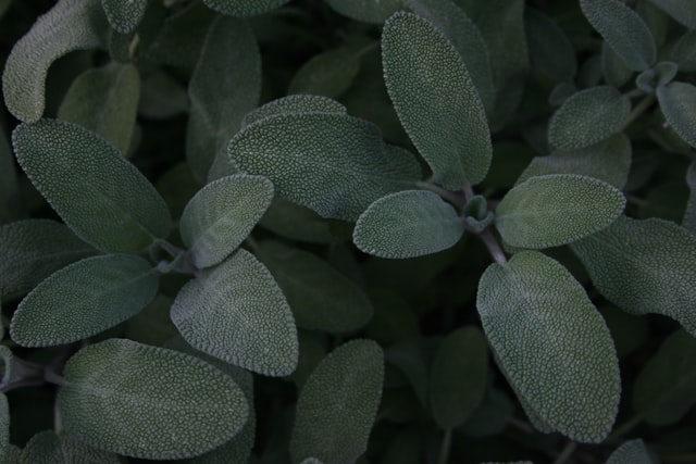 Sage is a natural remedy you can grow in your garden